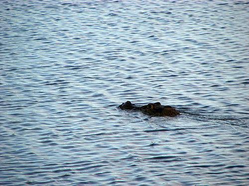 rupunini-river-black-caimans