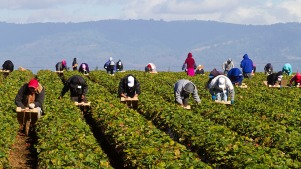 Migrant farm workers in strawberry fields. (Mark Miller/Getty Images)